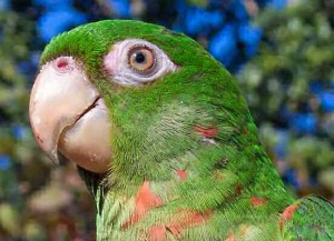 Cuba still has several species of wild parrots, although the birds are endangered since many have been captured as pets.