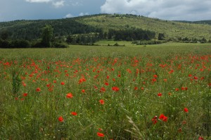 Spring blooming wild poppies fill meadows atop the Lozare's plateau.