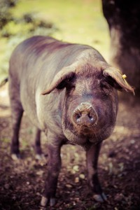 Black-footed Iberico pigs live a free-raging life foraging on acorns